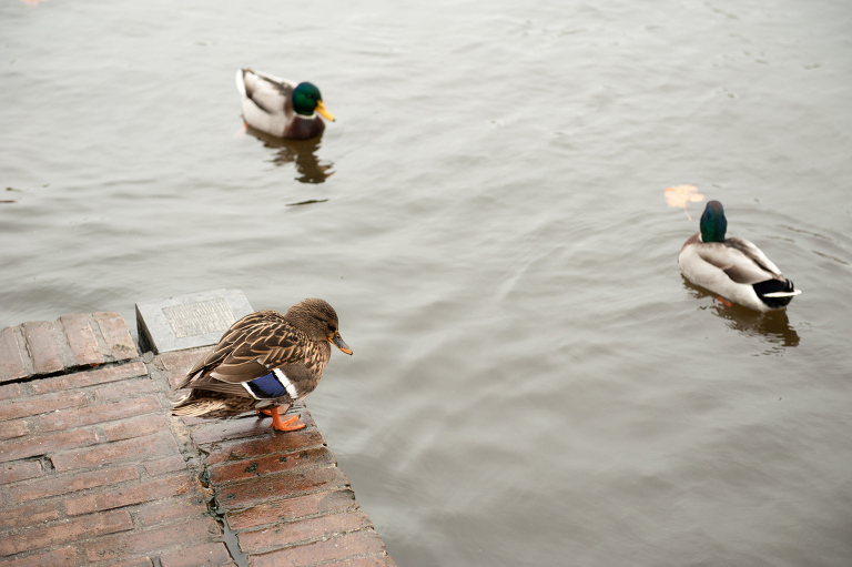 Ducks in Delft || « Vine and the Olive »