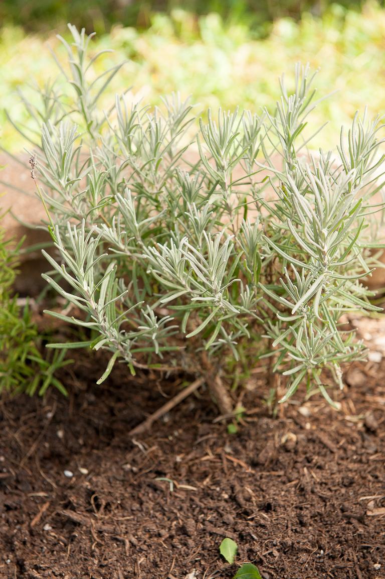 lavender propagation
