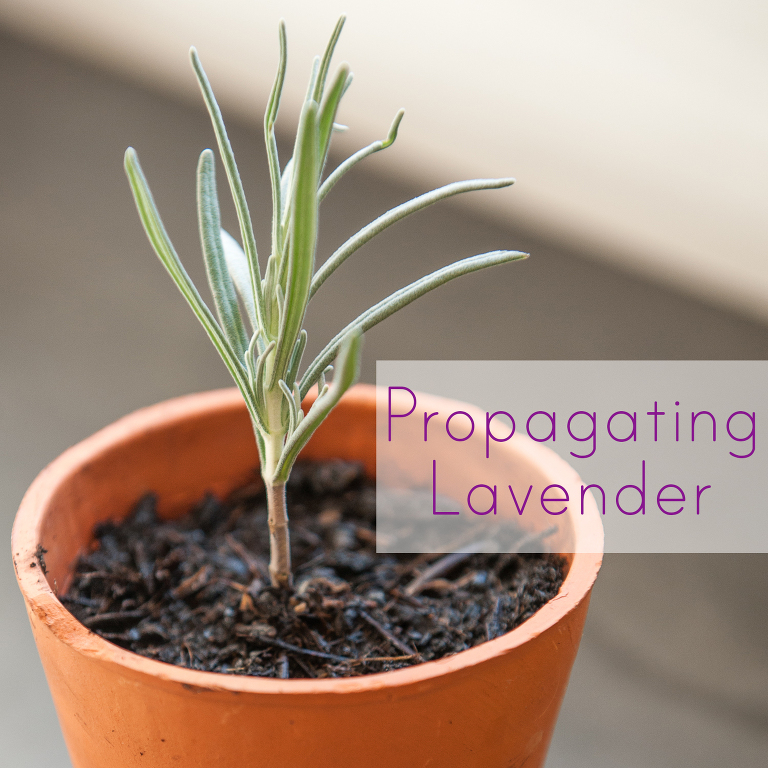 How to propagate Lavender to multiply your plants for free